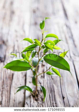 Green ficus benjamina on wood - stock photo