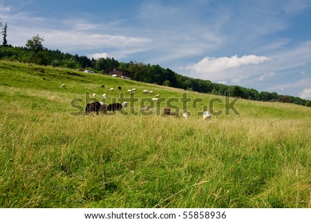 green field and sheep