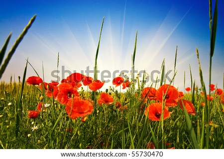 Green field full of poppies and blue sky with sunbeams early morning by summer. - stock photo