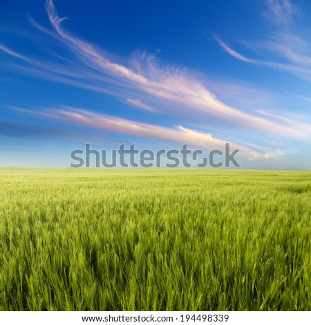 Green field landscape, agricultural field, barley.