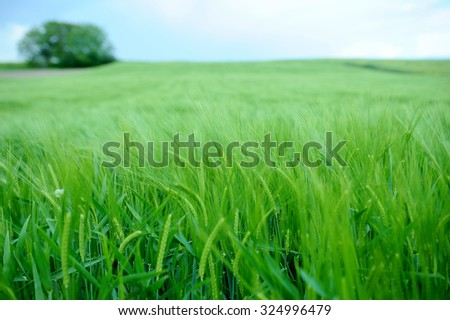 Green field of barley.Young wheat crops plant field in summer, shallow depth of field - stock photo