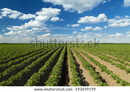 Green field of potato crops in a row. - stock photo