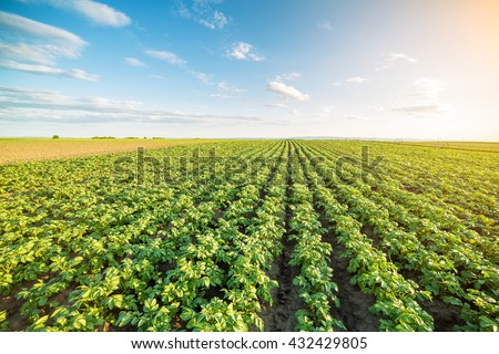 Green field of potato crops in a row - stock photo