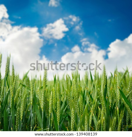 Green field of wheat. Composition of nature.