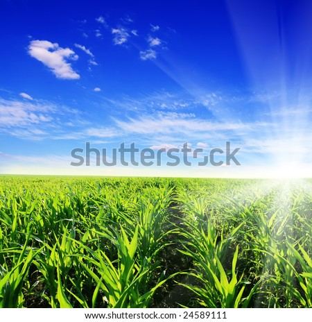 green field of young corn and sun sky - stock photo
