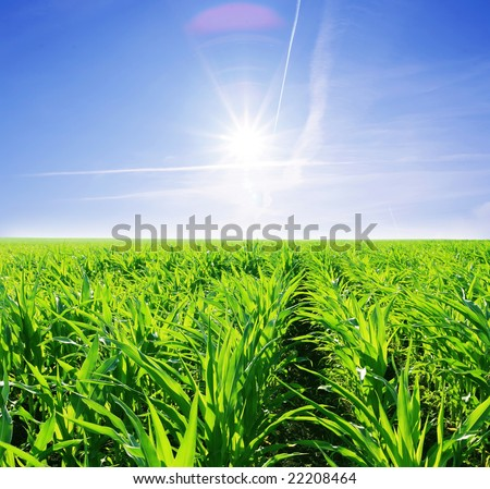 green field of young corn and sunny sky - stock photo