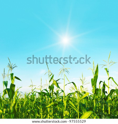Green field of young corn on bright sunny day. - stock photo
