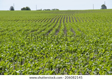Green field of young corn stretching to the horizon - stock photo