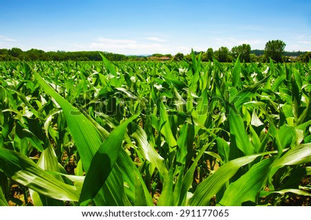 Green field of young corn under a blue sunny sky - stock photo
