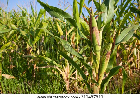Green field of young corn under the sunlight, Guadiana River wetlands, Badajoz, Spain