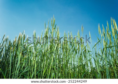 green field with ears of wheat in the summer - stock photo