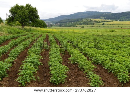 Green Field With Organic Sprouts Sitting In Beds, Rainy Clouds On The Sky   - stock photo