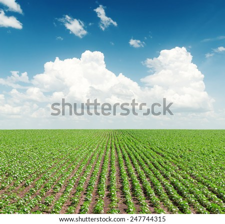 green field with sunflowers under cloudy sky in blue sky - stock photo