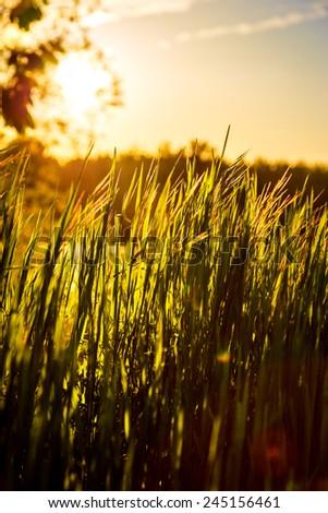 Green field with sunlight / Green grass sunset  - stock photo