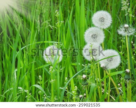 Green field with white dandelion flowers background - stock photo