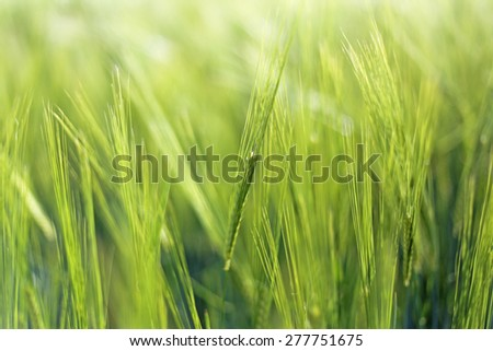 Green field with young barley ears, soft focus, blurred background