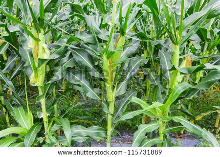 Green field with young corn