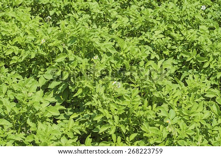 Green field with young potato plants and leaves, agricultural nature background - stock photo