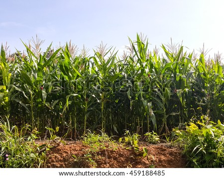 Green fields corn with grass on grounds and Sky backgrounds