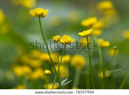 Green fields of beautiful yellow buttercups - stock photo