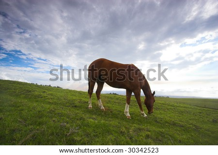 Green fields of grass and grazing horse in Hawaii - stock photo