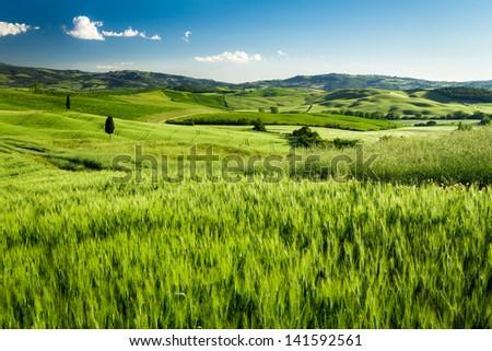 Green fields of wheat in Tuscany, Italy - stock photo