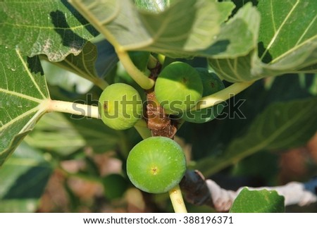 Green figs growing on a fig tree at Emborio on the Greek island of Halki.