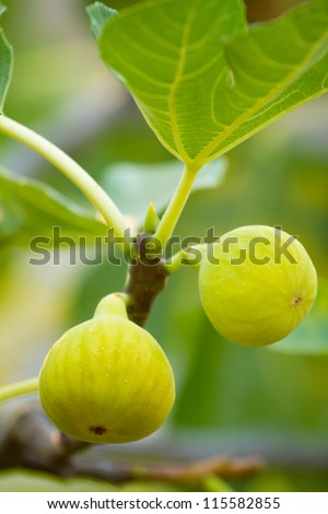 Green figs on the tree in a sunny day - stock photo