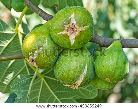 Green figs ripening on the tree in sunshine. Fiorone figs. Italy. - stock photo