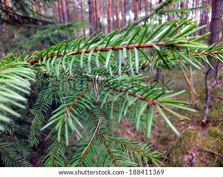 Green filed spruce needles of the forest as a background - stock photo
