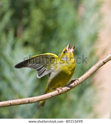 Green Finch with attitude - stock photo