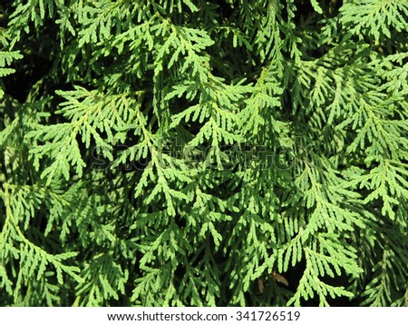 Green fir branches of thuja as a background, texture - stock photo