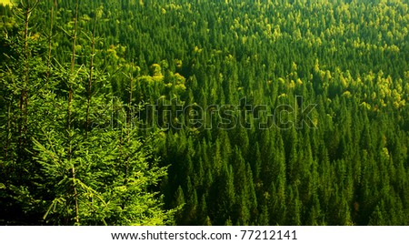 Green fir forest background, with evergreen pines of European woods - stock photo