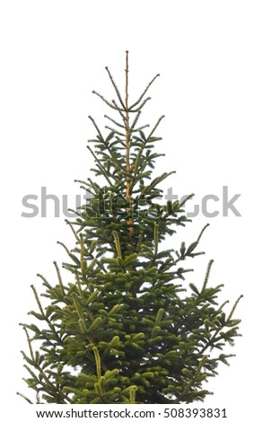 green fir isolated on white background