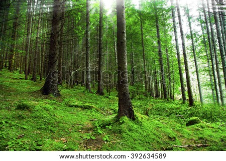 Green fir tree forest with sunbeams through the trees - stock photo