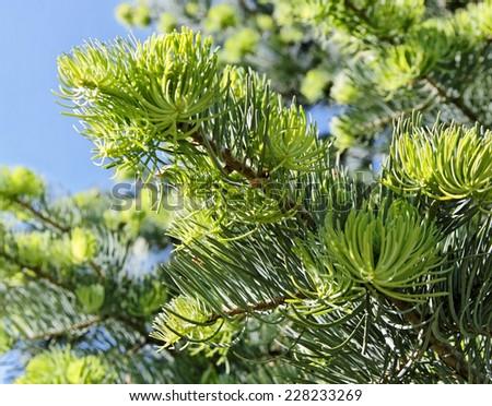 Green fir tree growing outdoor. - stock photo