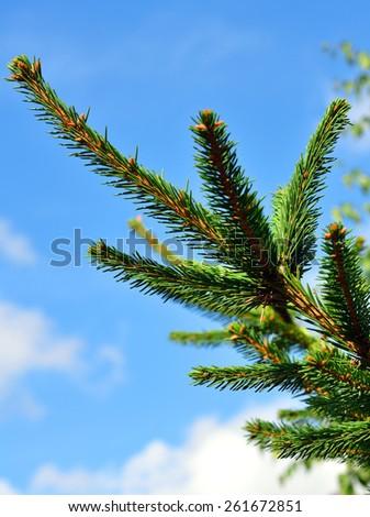 Green fir twig against blue sky - stock photo