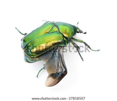 Green flower beetle, Cetonischema aeruginosa, against white background, studio shot - stock photo