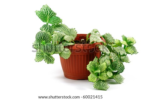 green flower in flowerpot isolated on white - stock photo