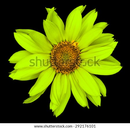 Green flower of a decorative sunflower Helinthus isolated on black - stock photo