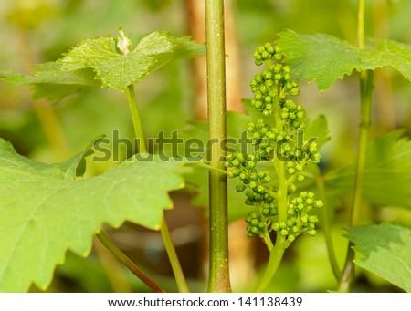 green flowers of grape - stock photo