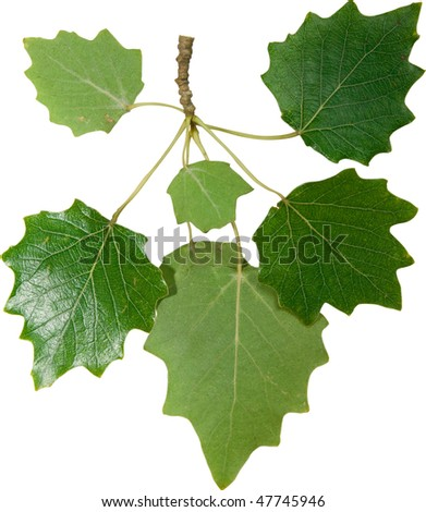 Green foliage of poplar isolated on white - stock photo