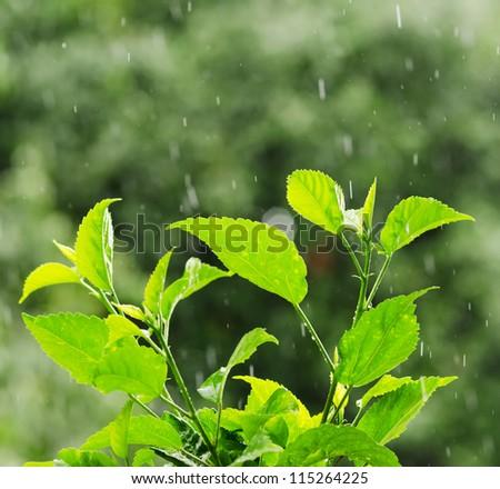 Green foliage under a rain drops. - stock photo