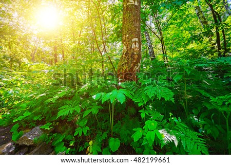 Green forest and white birch. The sun's rays penetrating through the trees.