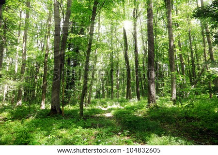 Green forest landscape with sunbeams in the summer morning - stock photo