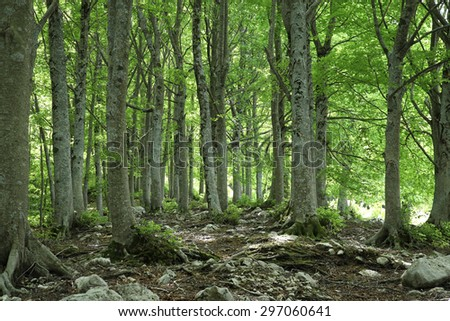 Green forest of mature beech trees on Apennines mountains