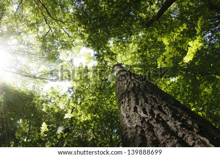 Green forest. Tree with green Leaves bottom view background - stock photo