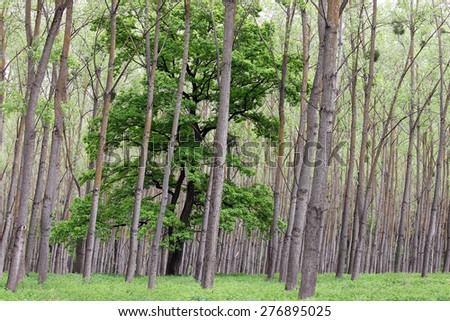 green forest trees and foliage summer  - stock photo
