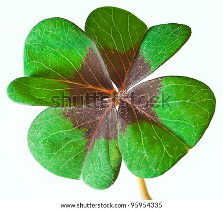 green four leaf clover isolated on white - stock photo