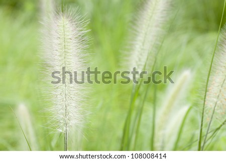 green foxtail grass in the park